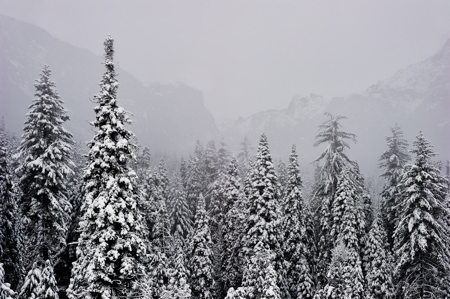 Pine Trees and Yosemite Valley